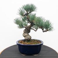 Imported Japanese White Pine (JWP2018020)