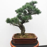 Imported Japanese White Pine (JWP2018021)
