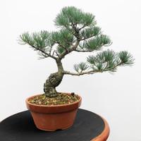 Imported Japanese White Pine (JWP2018023)