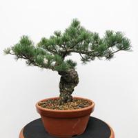 Imported Japanese White Pine (JWP2018025)