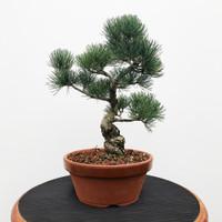 Imported Japanese White Pine (JWP2018035)