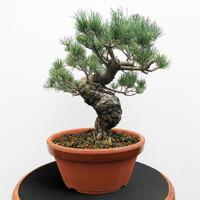 Imported Japanese White Pine (JWP2018032)