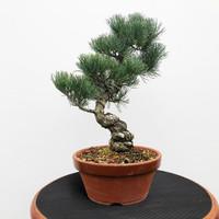 Imported Japanese White Pine (JWP2018036)