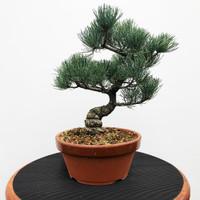 Imported Japanese White Pine (JWP2018039)