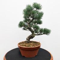 Imported Japanese White Pine (JWP2018040)