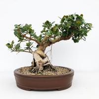 "Green Island Ficus with 5"" Base in Yixing Pot (WEB633)"