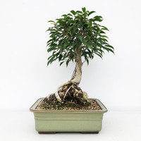 Root Over Rock Oriental Ficus in Japanese Glazed Pot (WEB642)