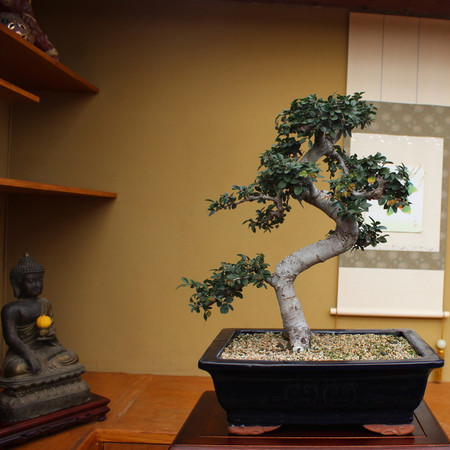 Chinese Elm (TM_67ChineseElm)