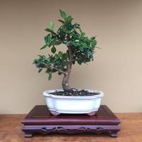 Green Island Ficus (B4010)