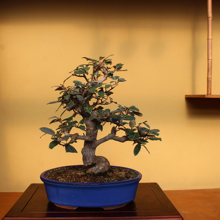 Silverberry. Russian Olive (TM_57Silverberry)