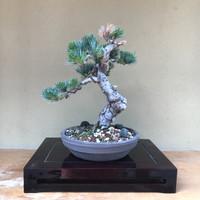 Japanese White Pine (C1003)