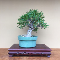 Willow Leaf Ficus (SP_35WLFicus)