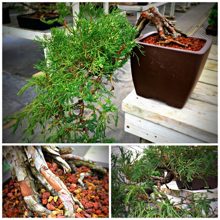 """Cascade Juniper (11"""" Tall, apx 35 Years Old)"""