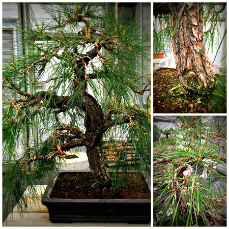 "Weeping Pine (37"" Tall, apx 30 Years Old)"