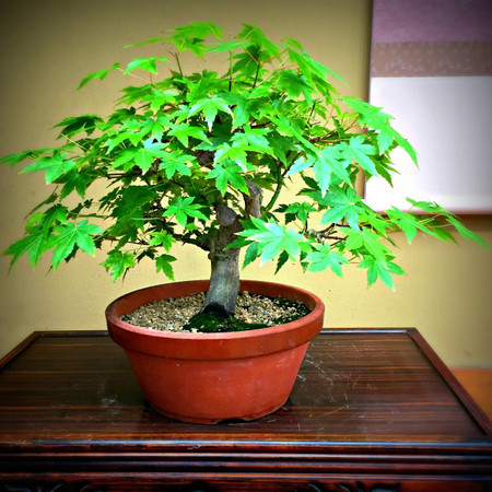 Japanese Maple Pre-Bonsai (JM_P6)