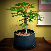 Japanese Maple Pre-Bonsai (JM_P7)