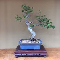 Birch Bonsai Tree (BI500)