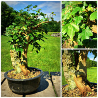 Variegated Trident Maple Root-Over-Rock Pre-Bonsai (C0072)