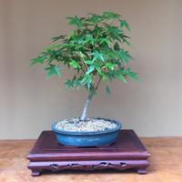 Japanese Maple Bonsai (JM525-1)