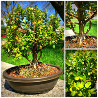 "Boxwood - 5 Years Old, 17"" Tall"