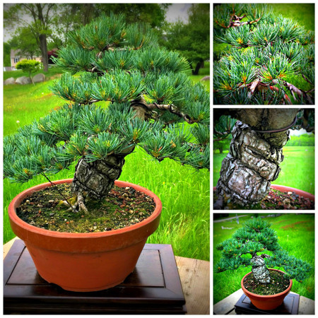 "Grafted Japanese White Pine (20"" Tall, apx 25 Years Old)"