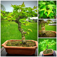 """Japanese Maple (17"""" Tall, apx 6 Years Old)"""