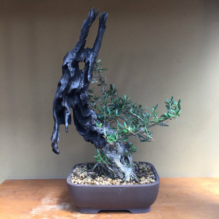 Collected Olive (B1010)