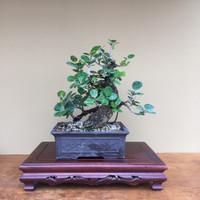 Green Island Ficus (B4007)