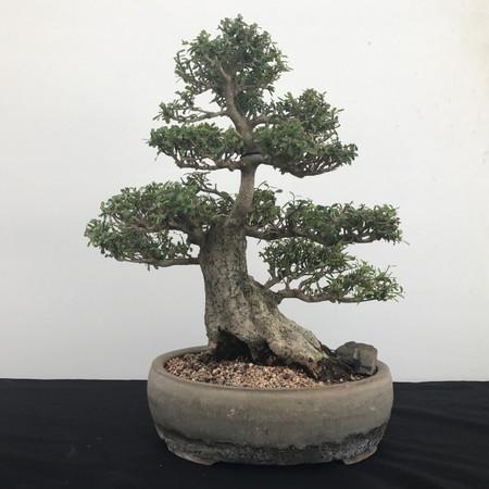 Nea Buxifolia Bonsai (B2004)