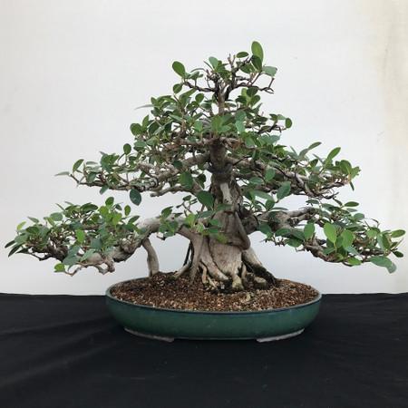 Developed Green Island Ficus (B1110)