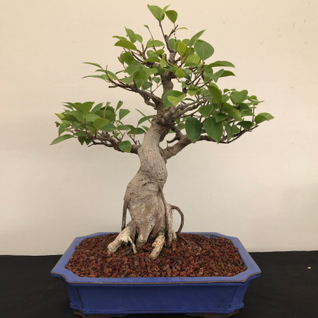 Ficus Retusa Bonsai (B1114)