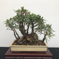 Willow Leaf Ficus Bonsai (B1200)
