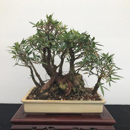 Willow Leaf Ficus Bonsai (B1200)