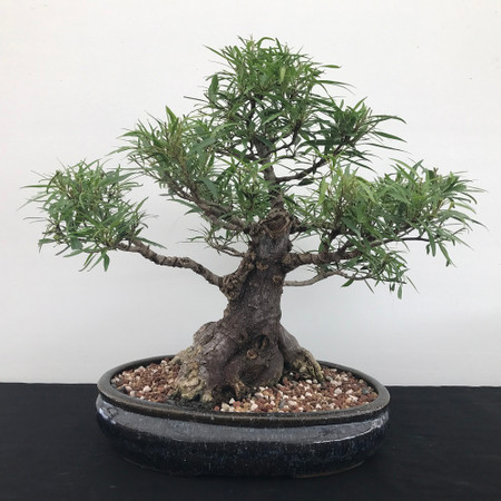 Willow Leaf Ficus (B1204)