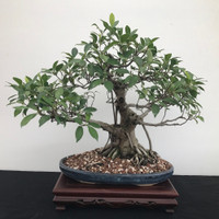 Golden Gate Ficus with Air Roots (B1202)