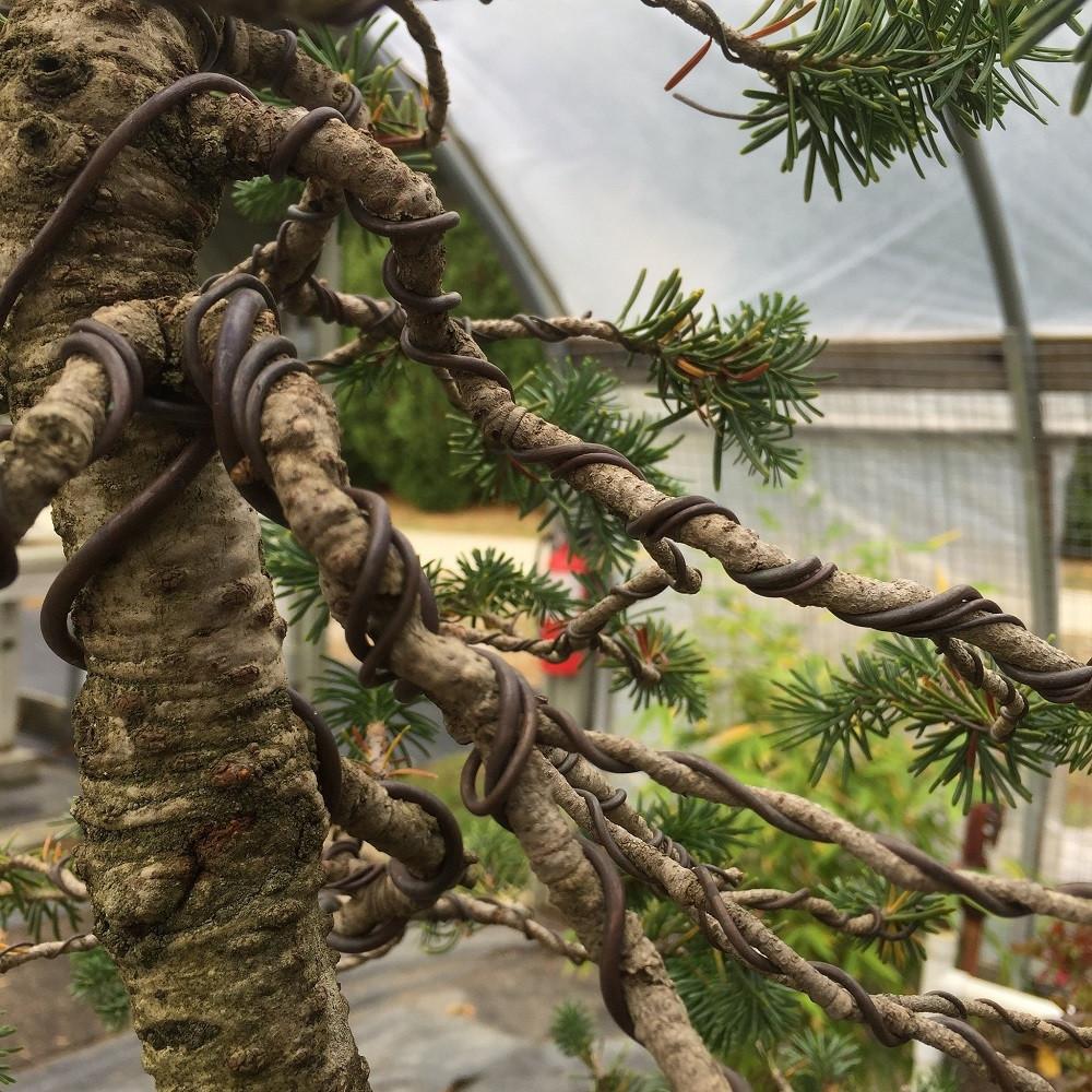 John Romano Bonsai Wiring Techniques New England Gardens My Image 1