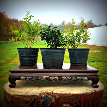 Flowering Pre-Bonsai 3-Pack (Indoor/Outdoor)