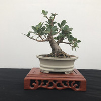 Glen Lord Shohin / Miniature Workshop (August 18, 2018)