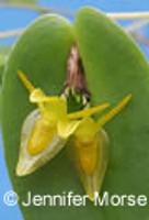 Pleurothallis tridentata