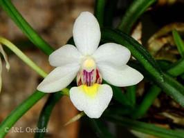 Holcoglossum nujiangense